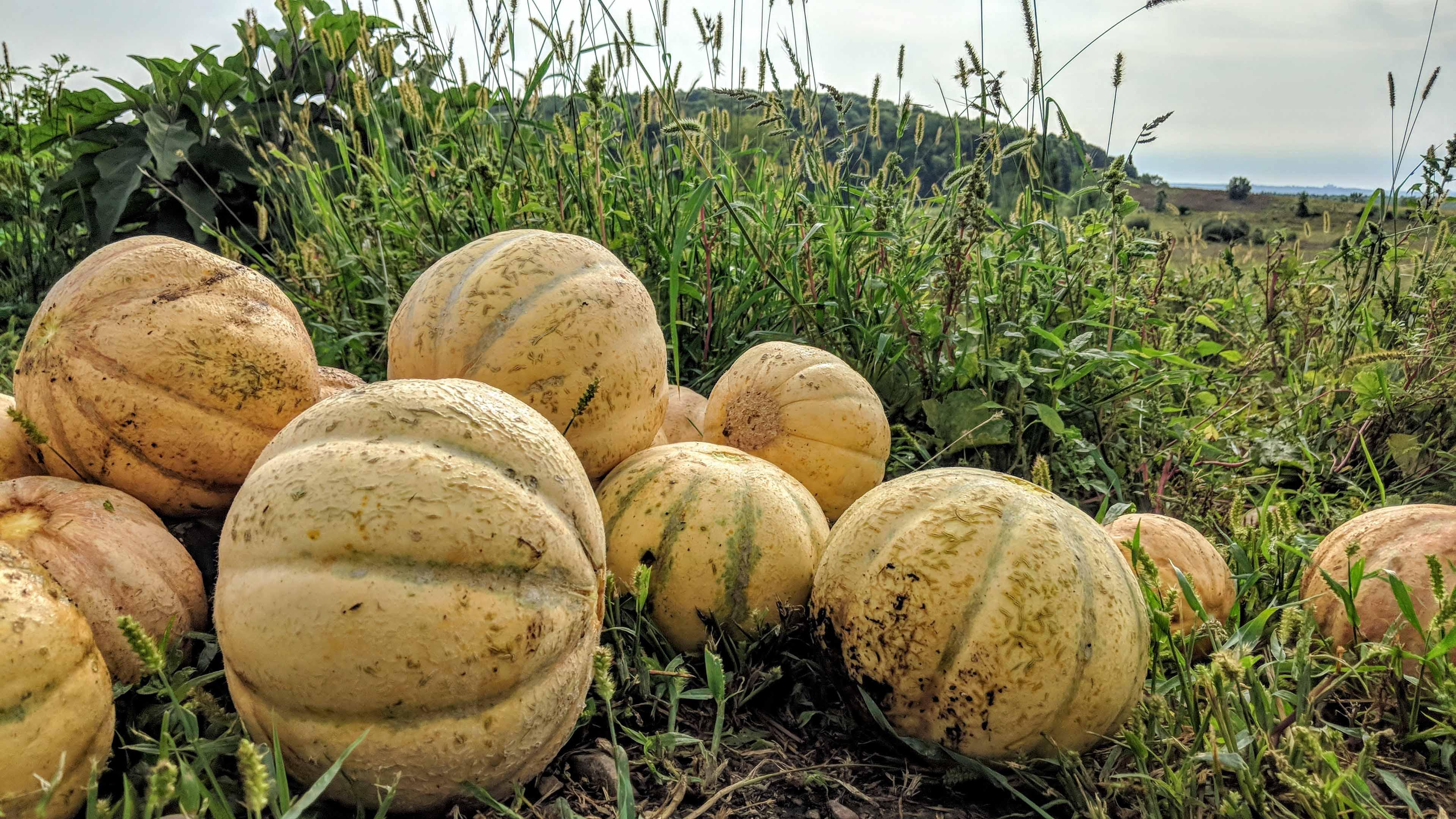 melon-gardiens-semences