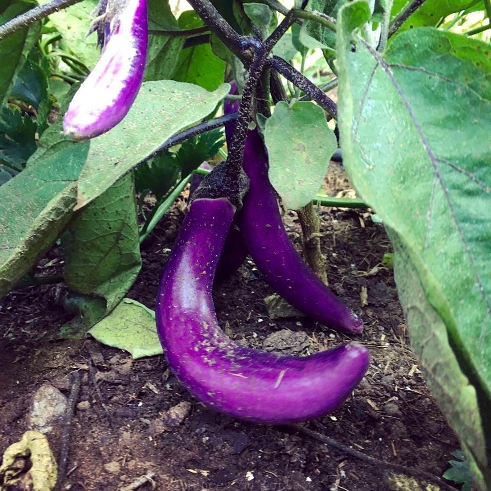 aubergine ping tung long