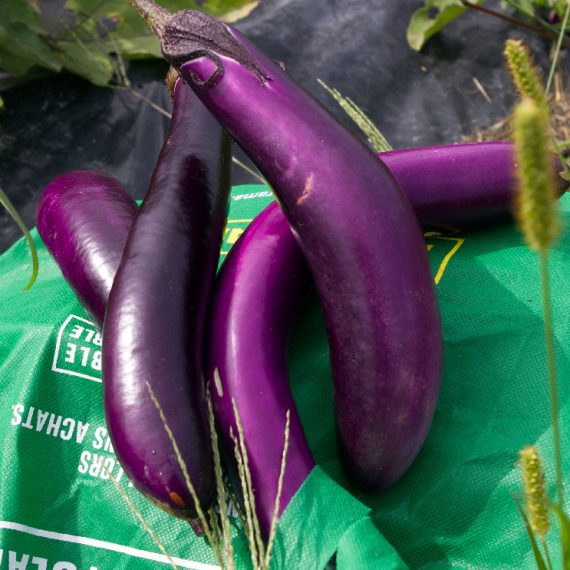 aubergine-ping-tung-long