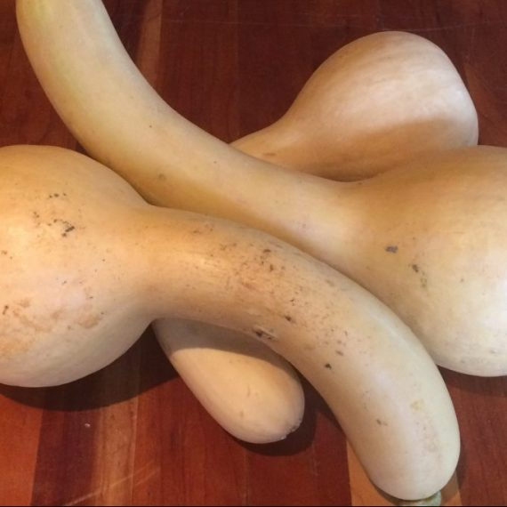courge crookneck iroquoise