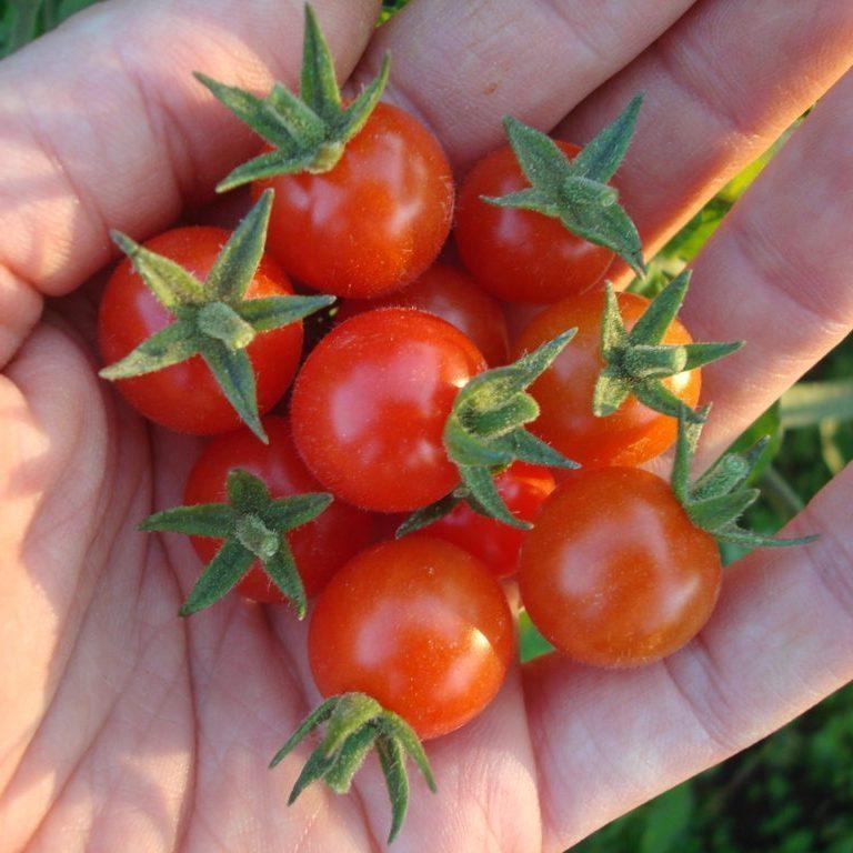 tomate-petit-moineau