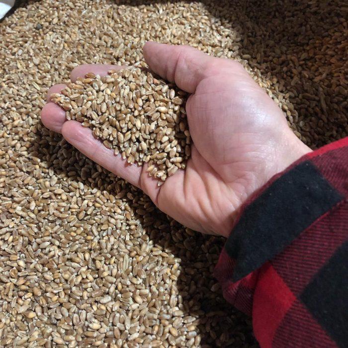blé-huron-gardiens-de-semences