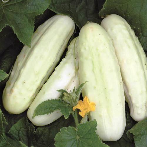 concombre-blanc-de-hollande
