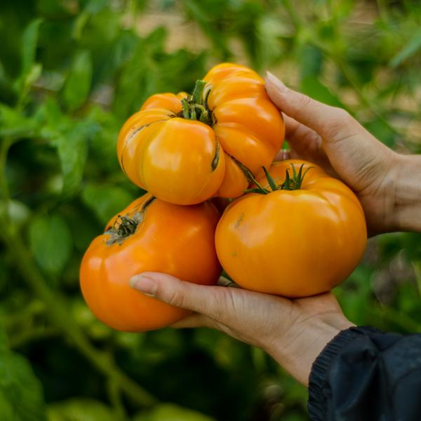 tomate-brandywine-jaune